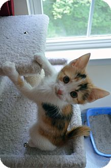 Calico Kitten for adoption in Port Republic, Maryland - Daisy