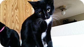 Domestic Shorthair Kitten for adoption in Mesa, Arizona - Joey