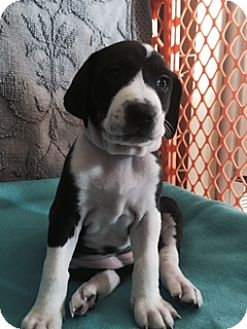 Border Collie Mix Puppy for adoption in Baltimore, Maryland - Sicily