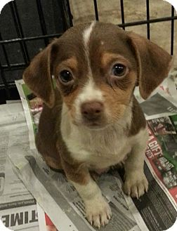Beagle/Jack Russell Terrier Mix Puppy for adoption in Chicago, Illinois - Scarlet*ADOPTED!*