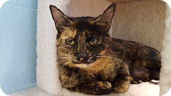Domestic Shorthair Cat for adoption in Circleville, Ohio - Iris