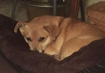 Dachshund/Pomeranian Mix Dog for adoption in Polson, Montana - Rosalie