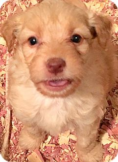 """Goldendoodle Puppy for adoption in Wakefield, Rhode Island - GATSBY(OUR """"GOLDENDOODLE"""""""