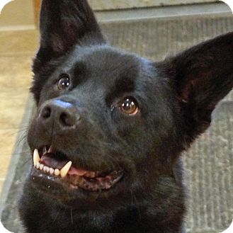 Australian Kelpie Mix Dog for adoption in Sprakers, New York - Ledger
