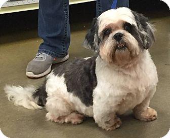 Shih Tzu Dog for adoption in Orlando, Florida - Little Dew