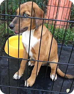 Mountain Cur Mix Dog for adoption in Olympia, Washington - Rusty