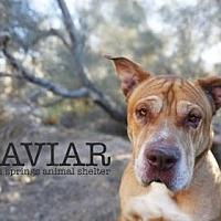 Adopt A Pet :: Caviar - Palm Springs, CA