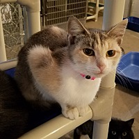 Adopt A Pet :: Candice - Geneseo, IL
