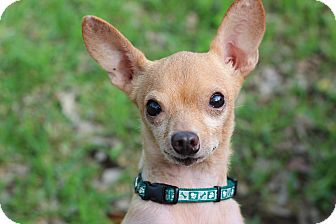 Chihuahua Mix Dog for adoption in College Station, Texas - Beau Dudley (6 pounds)