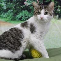 Domestic Shorthair/Domestic Shorthair Mix Cat for adoption in Bristol, Indiana - Sour Cream