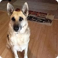 German Shepherd Dog/German Shepherd Dog Mix Dog for adoption in Newalla, Oklahoma - Dude