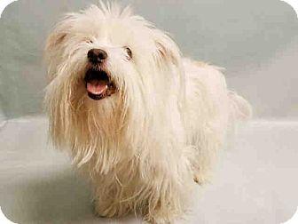 Maltese Mix Dog for adoption in Brattleboro, Vermont - Chanel