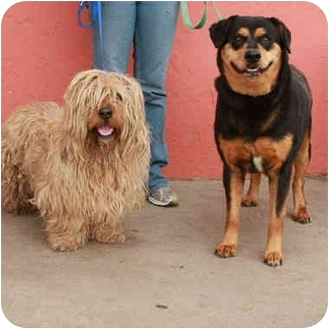 Rottweiler/Shih Tzu Mix Dog for adoption in Denver, Colorado - Taz & Moxy