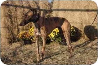 Greyhound Dog for adoption in Dallas, Texas - Wolfe
