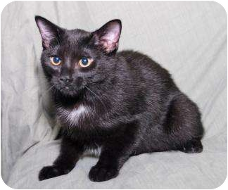 Domestic Shorthair Kitten for adoption in Dayton, Ohio - Dotson