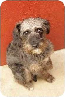 Miniature Schnauzer/Poodle (Miniature) Mix Dog for adoption in Charleston, Illinois - no name