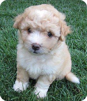 Cockapoo/Shih Tzu Mix Puppy for adoption in La Habra Heights, California - Mazie