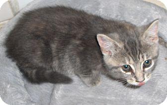Domestic Shorthair Kitten for adoption in Richmond, Virginia - Tiggy