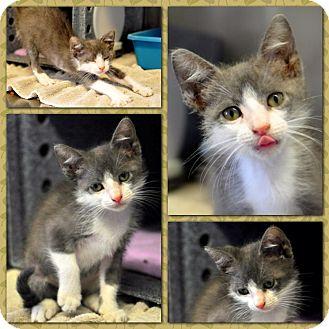 Domestic Mediumhair Kitten for adoption in Corpus Christi, Texas - Karma