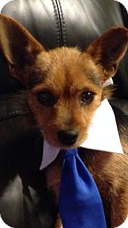 Cairn Terrier/Yorkie, Yorkshire Terrier Mix Dog for adoption in Marlton, New Jersey - Toto