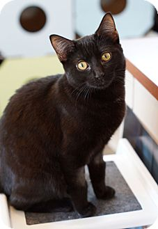 Domestic Shorthair Cat for adoption in St. Louis, Missouri - Crybaby