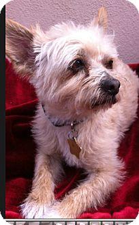 Scottie, Scottish Terrier Mix Dog for adoption in Studio City, California - Rascal