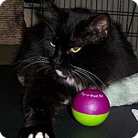Domestic Longhair Cat for adoption in Hampton, Virginia - Anna