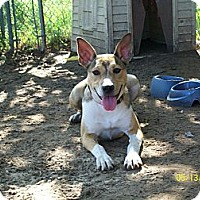 Sheltie, Shetland Sheepdog/Basenji Mix Dog for adoption in Mexia, Texas - DaisyDuke