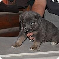 Adopt A Pet :: Beau - Hamilton, MT
