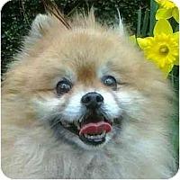 Adopt A Pet :: Bobby Boo - Gum Spring, VA