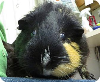 Guinea Pig for adoption in Middletown, New York - Cocoa