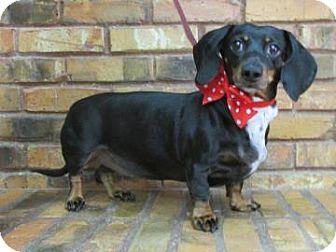 Dachshund Dog for adoption in Benbrook, Texas - Dolly