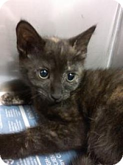 Domestic Shorthair Cat for adoption in Miami, Florida - Samantha