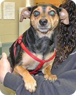 Miniature Pinscher/Chihuahua Mix Dog for adoption in Redmond, Oregon - Hoss