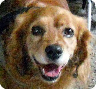 Cocker Spaniel/Cavalier King Charles Spaniel Mix Dog for adoption in Oakley, California - Henry