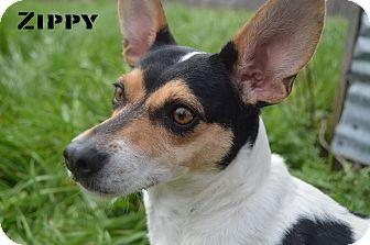 Rat Terrier Mix Dog for adoption in Texarkana, Arkansas - Zippy