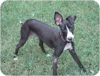 Italian Greyhound Puppy for adoption in Oklahoma City, Oklahoma - Callie