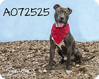 American Staffordshire Terrier Mix Dog for adoption in Palmetto, Florida - Seth