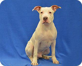 Great Dane/Bull Terrier Mix Puppy for adoption in Warren, Michigan - Atticus