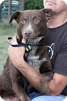 Chesapeake Bay Retriever/Australian Shepherd Mix Dog for adoption in Westminster, Colorado - Amber