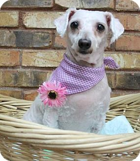 Poodle (Miniature) Mix Dog for adoption in Benbrook, Texas - Lovey