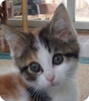 Calico Kitten for adoption in Walworth, New York - Cancun