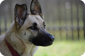 German Shepherd Dog Mix Dog for adoption in Dripping Springs, Texas - Cricket