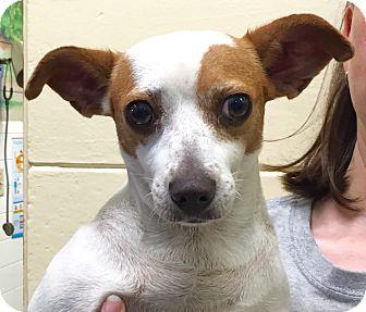 Chihuahua Mix Dog for adoption in Orlando, Florida - Sky