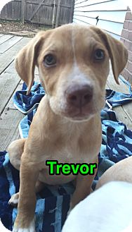 Pit Bull Terrier Mix Puppy for adoption in Hainesville, Illinois - Trevor