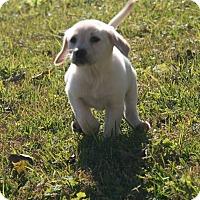 Adopt A Pet :: Veure - Destrehan, LA
