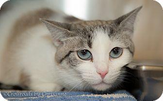 Domestic Shorthair Cat for adoption in Sierra Vista, Arizona - Lola