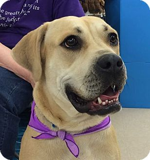 Labrador Retriever/Mastiff Mix Dog for adoption in Olive Branch, Mississippi - Roxy-Great Personality!