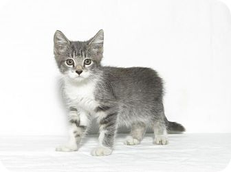 Domestic Shorthair Kitten for adoption in Lufkin, Texas - Lucy