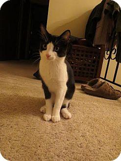Domestic Shorthair Cat for adoption in Eagan, Minnesota - Maya